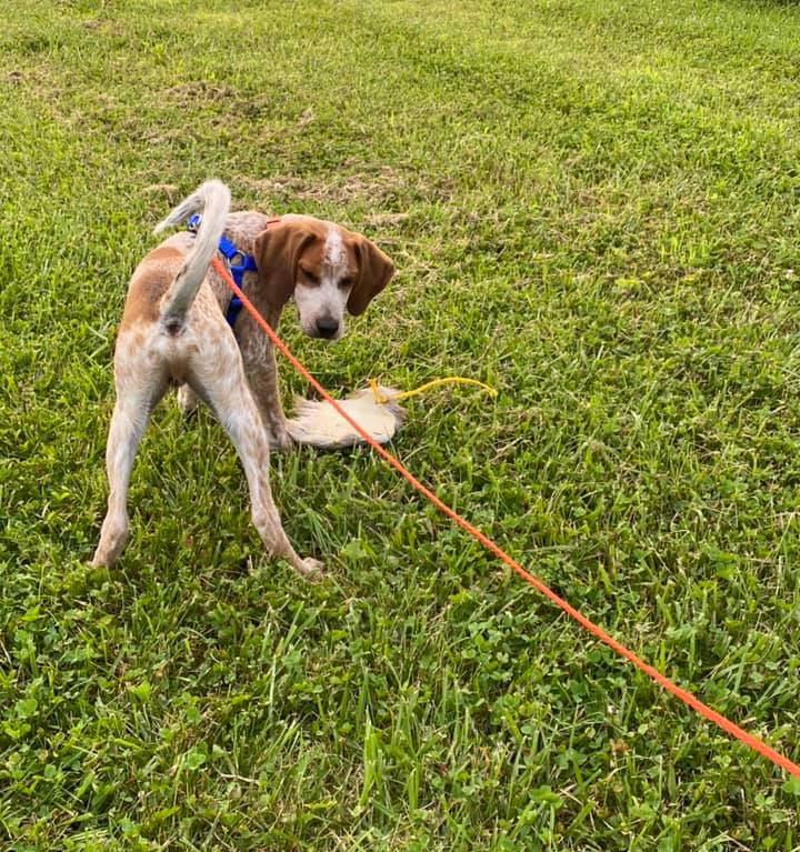 Coonhound puppy tracking training