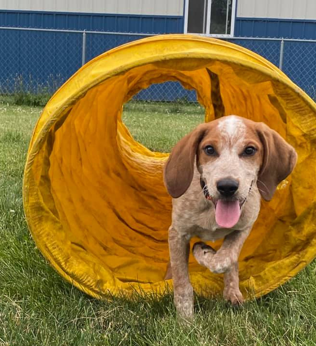 Coonhound puppy agility tunnel